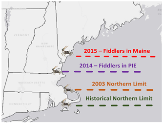 Fiddler Crabs | Plum Island Ecosystems